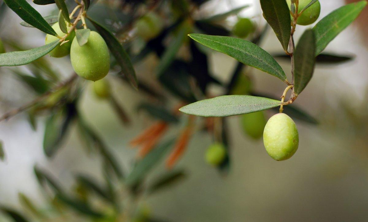 Kimsenin Değil Herkesin Ağacı: Zeytin Ağacı
